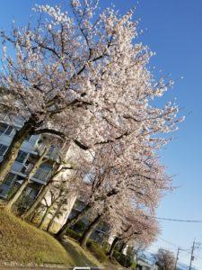 新聞配達中に見た桜
